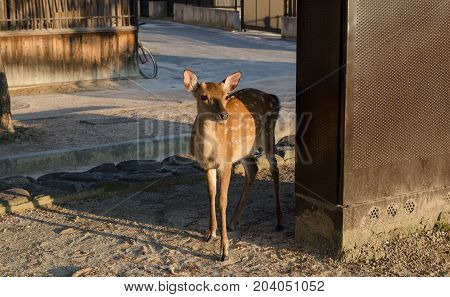 Sika Deer (cervus Nippon)  At Miyajima (itsukushima) Island Street. Sunset Time. Japan