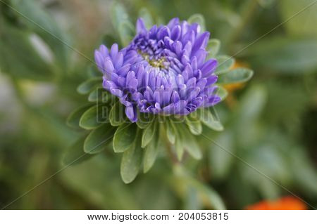 Violet aster (Callistephus chinensis, family Asteraceae) on a blurred background.