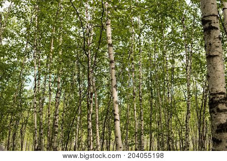 A birch is a thin-leaved deciduous hardwood tree of the genus Betula.