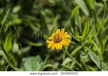 Flower of a bright yellow chrysanthemum with a convex center (Coleostephus myconis)