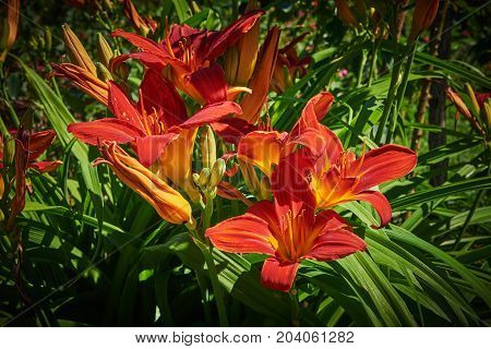 Flowers and buds of red yellow lilies (Latin Lilium) under natural sunlight