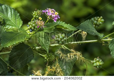 Flowers, leaves and berries of poisonous bush Lantana camara, also known as big-sage, is a species of flowering plant within the verbena family