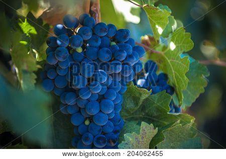 grape bunch on a vine very shallow focus