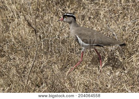crowned lapwing which goes among dry grass on the African savanna