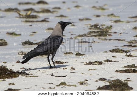 Introducer of Zanzibar house crow sitting on a sandbank at low tide on the coast of the Indian Ocean
