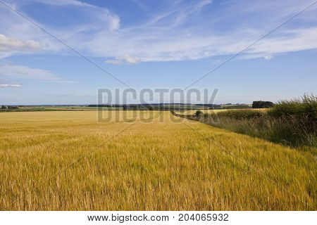 Golden Barley And Hedgerow
