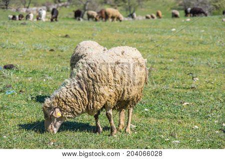 A herd of grazing sheeps in a field