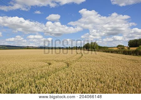 Wheat Field With Tyre Tracks