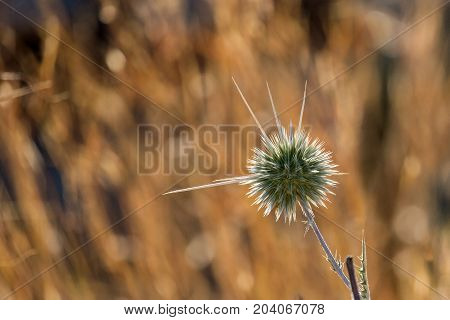 Prickle of faded Echinops commonly known as Globe Thistles (Echinops adenocaulos)