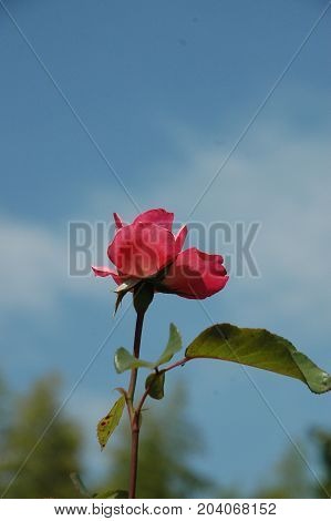 Beautiful blooming rose on blue sky background