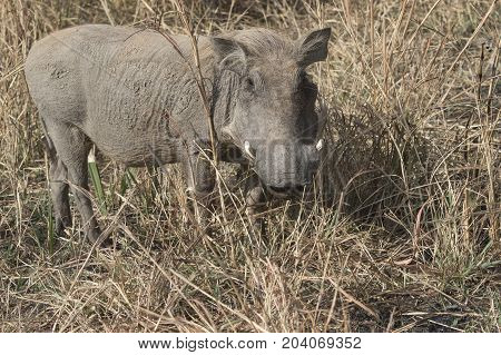 Phacochoerus that stands amid the dry grass in the savannah sunny