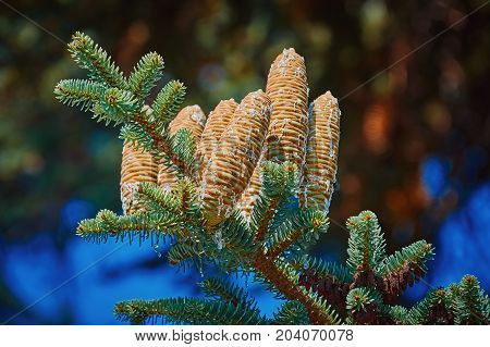 Immature Cones of Manchurian Fir Covered by Resin