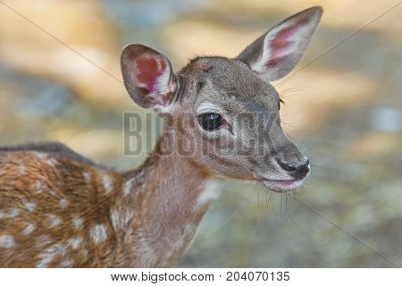 Close up Portrait of a Little Fawn