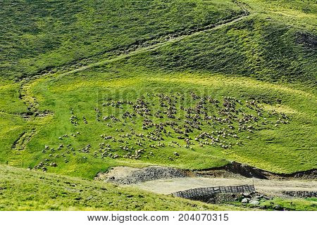Flock of Sheep on the One of Bucegi Mountains Slopes
