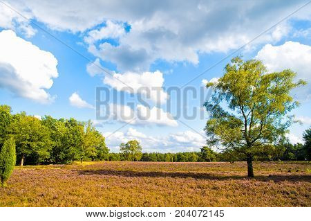 Heathland with flowering common heather (Calluna vulgaris) and an oak in the Lueneburg Heath (Lueneburger Heide) in Lower Saxony Germany. Autumn field and meadow concept