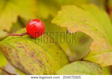 Red berry on autumn leaf close up