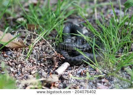 a small poisonous snake hid in the green grass