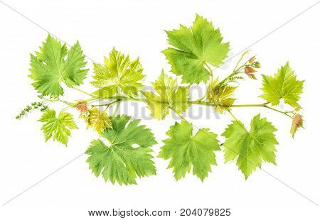 Fresh green leaves. Grape vine leaf isolated on white background. Vine sprig