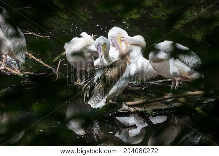 Wild great white pelican on a deserted lake in the depths of the jungle