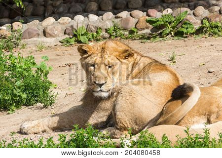 lion pride rests after hunting, male Asian lion and two females