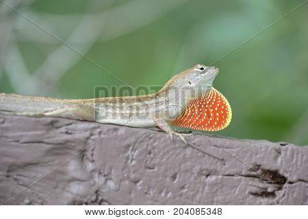 anole lizard showing of its bright dewlap (throat fan)