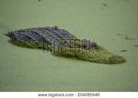 American alligators  can be found throught the southern united states. larger ones showing battle scars