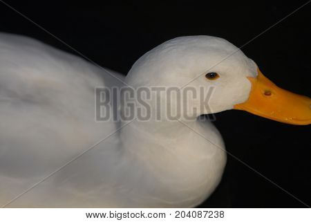The white Pekin duck is a common farm animal often raised for meat.