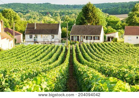 Row vine green grape in champagne vineyards at montagne de reims on countryside village background France