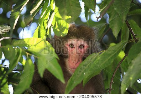 A big monkey staring at the photographer with caution