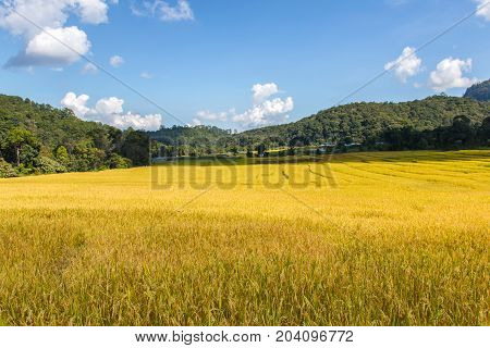 Green Terraced Rice Field in Mae Klang Luang Mae Chaem Chiang Mai Province Thailand