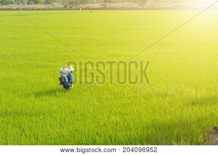 Farmers are sowing fertilizer in rice. thailand