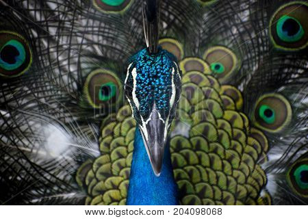peacock close up colorful face view blue green straight beak eyes crest looking high definition photo