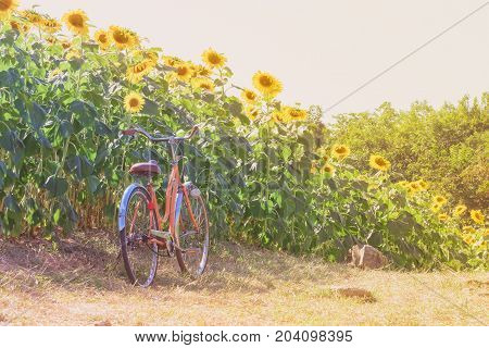 Bicycle in landscape sun flower garden outdoor