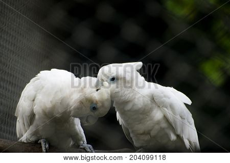 white crested cockatoo pair making love preening head feathers with beak nice dark green background sitting on  brunch of tree