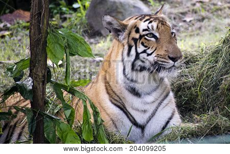 royal bengal tiger close up view in zoo yellow color with black ctrikes