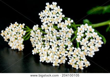 Yarrow Flower Close-up On A Black Background