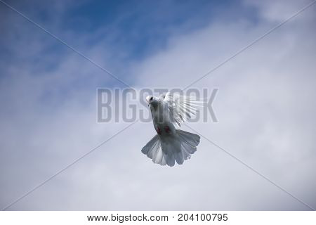 white pigeon flying in the blue sky in air white cloud stretched wings trying landing coming down