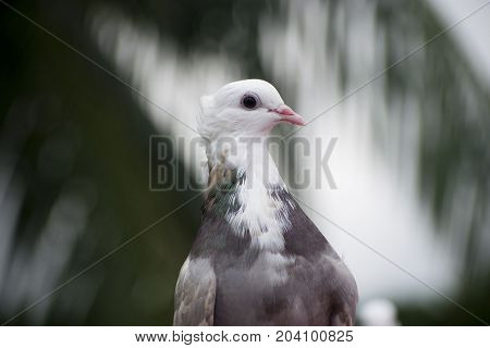 brown pigeon close up look white head