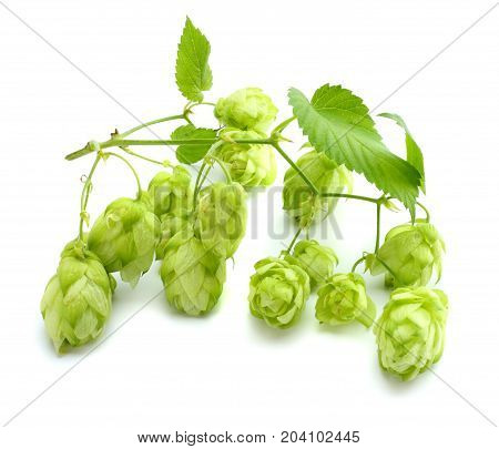 Beer Brewing Ingredients Hop Cones Isolated On White Background. Beer Brewery Concept. Beer Backgrou