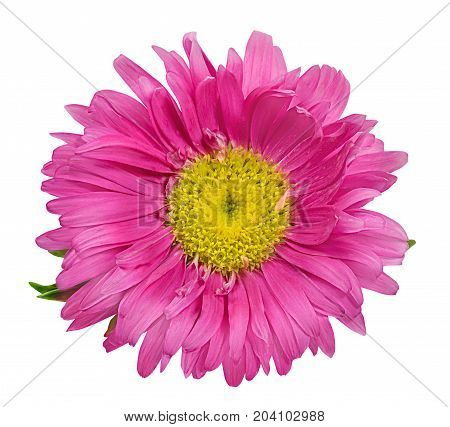 Daisy Chrysanthemum Chamomile Isolated On White Background