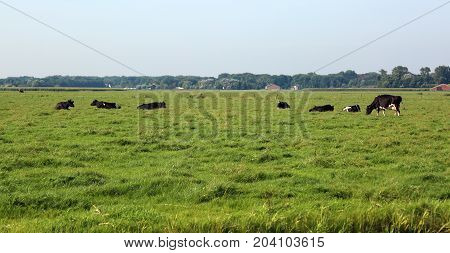 many cows grazing in the plain of prairie in summer