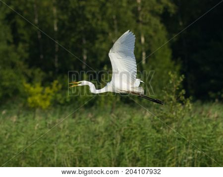Great white heron or Great egret Ardea alba take off close-up portrait with bokeh background selective focus shallow DOF.