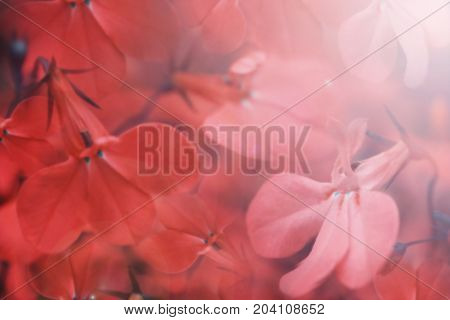 Floral red beautiful background. Red flowers close-up in the sunlight. Soft focus. Nature.