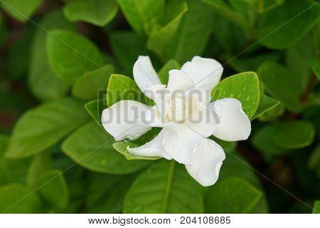 Gardenia Flower (Gardenia jasminoides) with rain drops