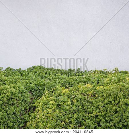 Green hedge fence near the white stucco wall