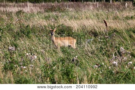 Young roedeer watchful and ready to run away