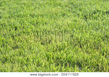 Freshness beauty of green lawn after rain.