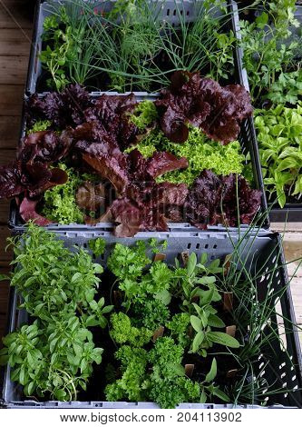 Organic lettuces and herbs in pots packed in plastic crates for farmers market - chives parsley basil sage lollo rosso and bionda