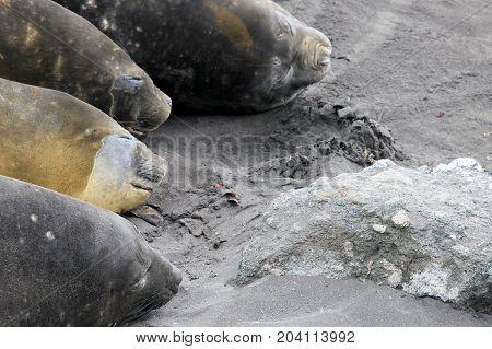 Elephant Seals, Mirounga Leonina, Antarctic Peninsula Antarctica