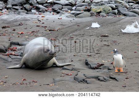 Elephant Seal and Gentoo Penguin, Antarctic Peninsula Antarctica